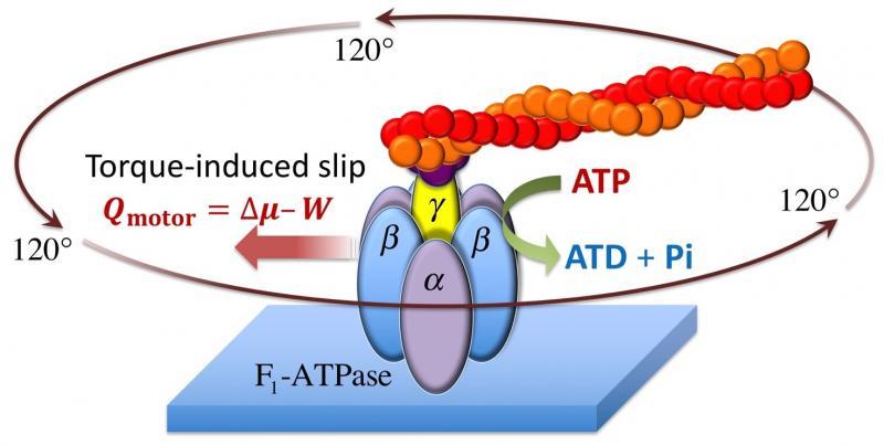F1-ATPase
