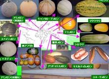世界の多様なメロン