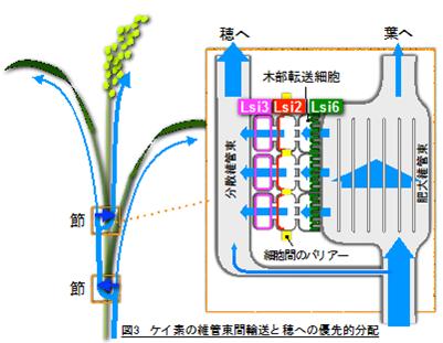 図3 ケイ素の維管束間輸送と穂への優先的分配
